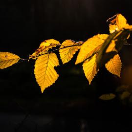 autumn by Željko Grganić - Nature Up Close Leaves & Grasses ( jesen, leaves, yellow, details, autumn )
