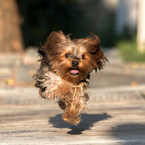Not running, flying! by Sergio Yorick - Animals - Dogs Running ( playing, color, dog, running, animal,  )