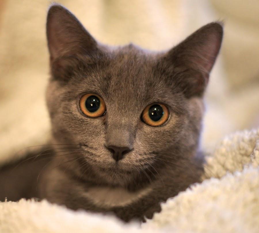 by Corinne Szabo - Animals - Cats Portraits ( *russian blue, *kitten, *grey cat )