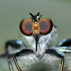 Robberfly by Niney Azman - Animals Insects & Spiders