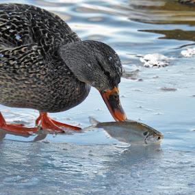 Anticipation by Kathy Woods Booth - Animals Birds ( waterfowl, bird photography, duck, bird, ice, mallard, mallard duck, fowl )