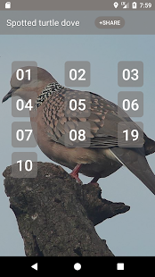Spotted turtle dove Sounds - náhled