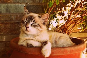 Buprenorphine for cats How to administer