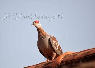 Photo: Paloma de Guinea (Columba guinea)