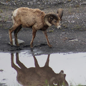 I see Me by Rose McAllister - Animals Other ( sheep_bighorn_water_reflection_mountain,  )