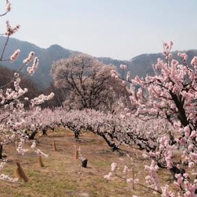 【日本の絶景】長野県北部の千曲市、「一目十万本」とも言われる日本一美しい杏の里を見に行こう!