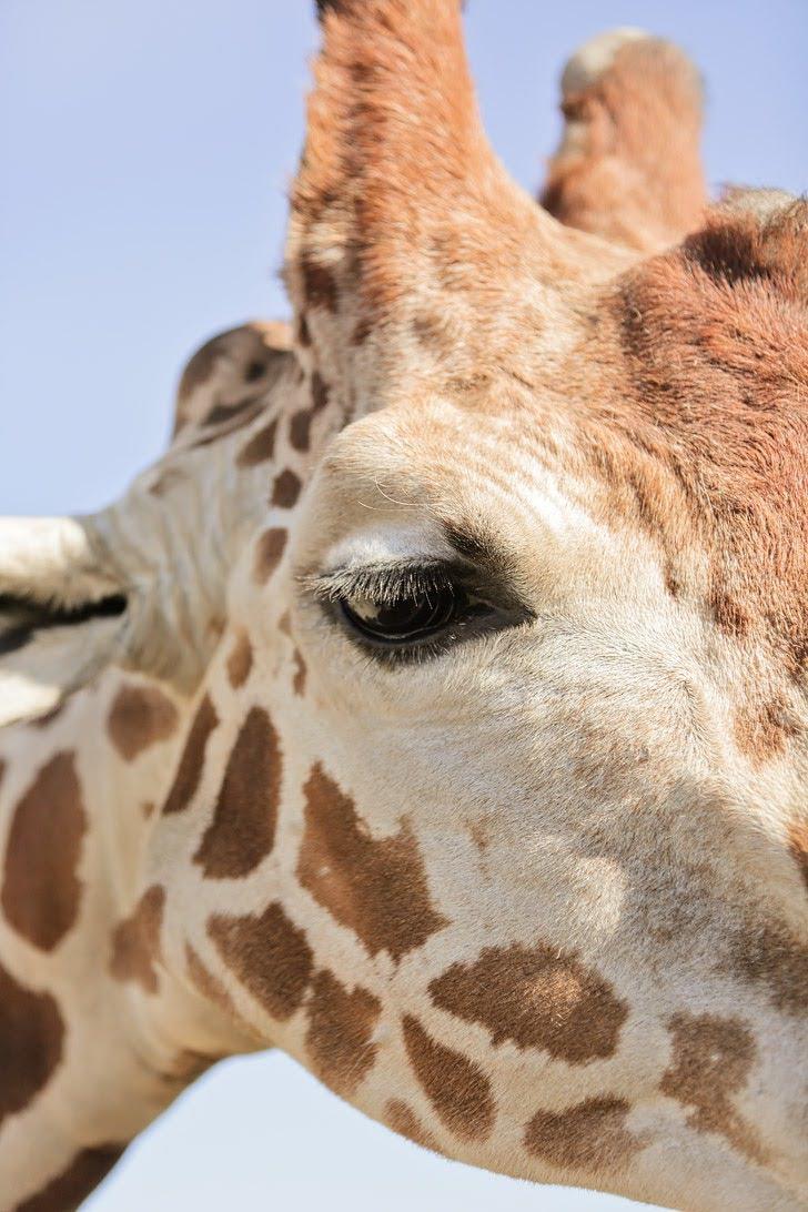 Feeding Giraffes at the San Diego Zoo Safari Park.