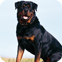 Rottweiler Dogs Live Wallpaper icon