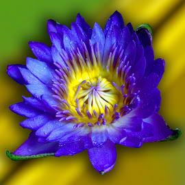 Blue by Asif Bora - Flowers Flower Gardens (  )