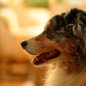 The Strider by Tom Cordova - Animals - Dogs Portraits ( shepherd, australian, pet, guardian, australian shepherd, dog, portrait, friend )