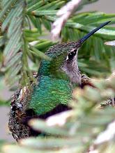 Photo: Nesting Hummingbird. Around 2004. Dublin, CA. Canon G2