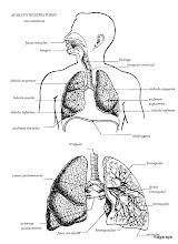Photo: cuerpo humano aparato respiratorio