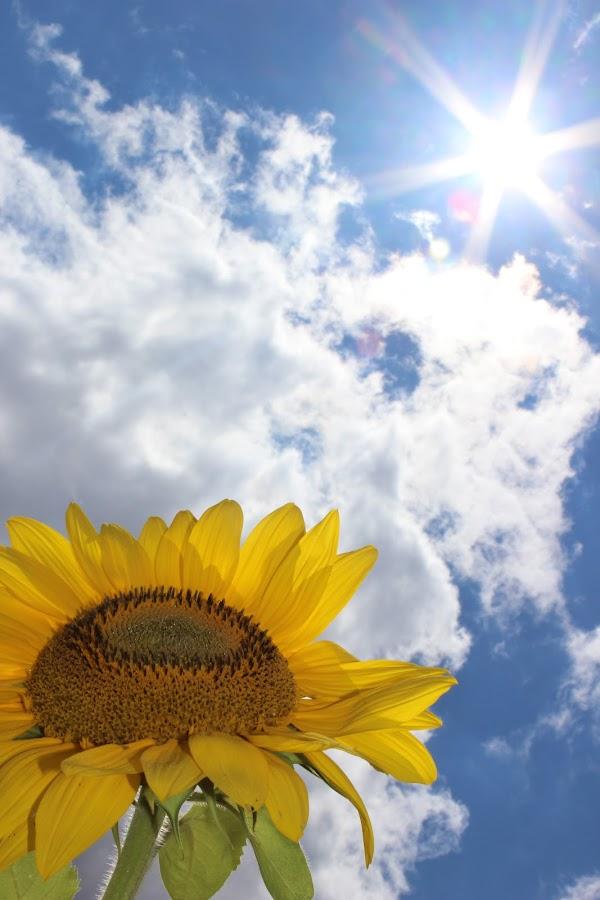 Sun and sunflower by Karissa Brenneman - Nature Up Close Flowers - 2011-2013