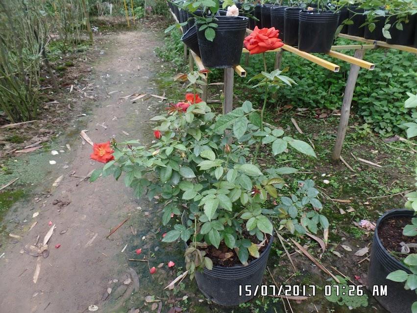 Chậu hồng Hot Chocolate rose ở vườn nhà sau 1 năm trồng