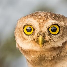 owl by Sanjeev Goyal - Animals Birds ( owlet, nikon, wildlifw, owl, nature, bird, wild, eyes, wildlife,  )