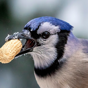 Blue Jay with a Peanut by Debbie Quick - Animals Birds ( wild, pleasant valley, peanut, animal photography, wildlife photography, blue jay lovers, nuts, wildlife, songbird photography, new york, debbie quick, blue jay, the hudson valley, bluejay, debs creative images, bird, winter, nature, snow, nature photography, songbird, blue jay photography, bird photography, animal,  )