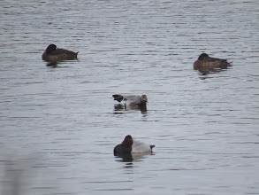 Photo: 18 Jan 14 Priorslee Lake Drake and duck Pochard with both duck Greater Scaup. (Ed Wilson)
