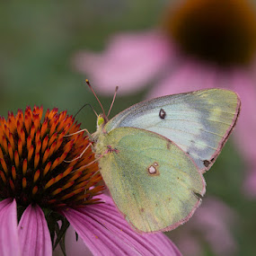 Clouded Sulphur by Andrew Boyd - Animals Insects & Spiders (  )