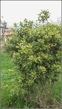 Photo: Laur (Ilex aquifolium..) - Turda,  Str. Andrei Muresanu, spatiu verde - 2019.04.18