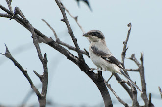 Photo: Loggerhead Shrike (Louisianawürger); San Miguel de Allende, GTO