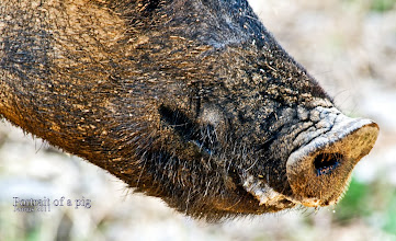 Photo: Detail Portrait of a pig