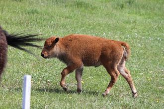 Photo: 07/06/2013 - Bear Country Park, Rapid City, South Dakota -  Calf Buffalo / Bison