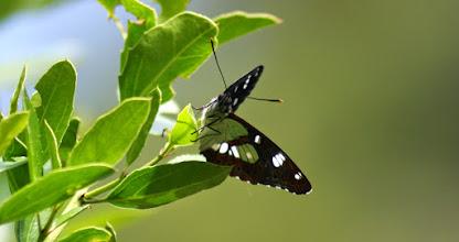 Photo: Blauwe Ijsvogelvlinder (Corfu)