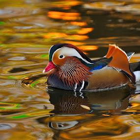 Mandarin by Ion Alexandra - Animals Birds ( mandarin duck, , colorful, mood factory, vibrant, happiness, January, moods, emotions, inspiration )