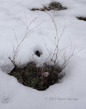 Photo: Shrub poking out from the snow.