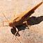 Carolina locust