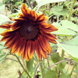 Sunflower for bees by Meeta Thakur - Instagram & Mobile Android ( flower )