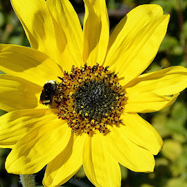 Bee Mine by Becky Luschei - Flowers Flower Gardens ( center, bee, important, fuzzy, sunflower, survival, flower )