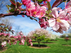 Photo: Beautiful pink blossoms arching over a flowering tree at Cox Arboretum and Gardens Metropark in Dayton, Ohio.