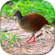 Download Canto do Inhambu-chororó For PC Windows and Mac 1.0