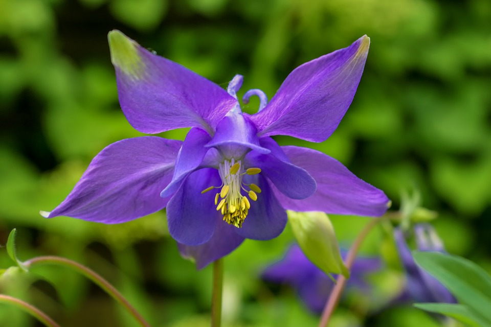 close up of a deep purple columbine bloom with green foliage background