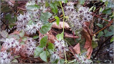 Photo: Curpen de pădure (Clematis vitalba L) - de pe Digul Ariesului,  Mr.3 - 2016.11.05