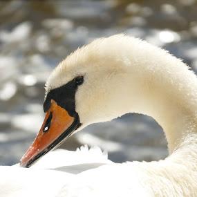 The Swan by Scott Williams-Collier - Animals Birds