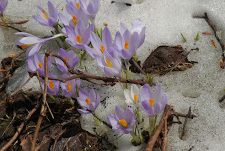 Photo: Purple crocus appearing to signify beginnings of spring
