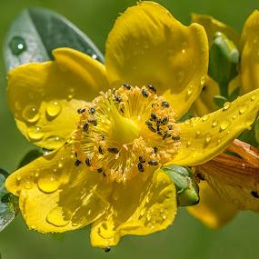 Hypericum by Adele Price - Flowers Single Flower (  )