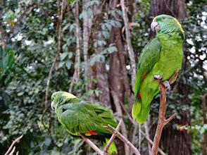 Photo: Amazonen (ähnlich der Gelbscheitelamazone, Amazona ochrocephala ochrocephala) Aufgenommen im Freigehege des Macaw Mountain Bird Park in Copán.