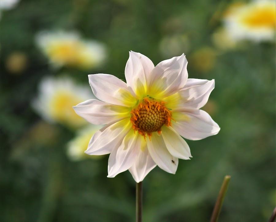by Mukesh Kumar - Flowers Single Flower
