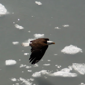 Eagle and Ice by Jason Kiefer - Animals Birds