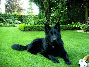 Photo: Djarré als volwassen hond