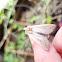 True Armyworm moth