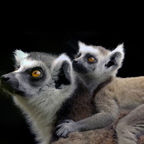 Mother and Baby by Steve Hatton - Animals Other Mammals ( madagascar wildlife, lemurs, primates, mother and baby lemur, madagascar )