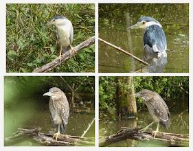 Photo: 撮影者:浜野建男 ゴイサギ タイトル: 観察年月日:2014/9/13 羽数:7羽 場所:浅川 さいかち池 区分:繁殖 メッシュ:八王子9H コメント:ジュニアクラブでさいかち池のゴイサギを観察した。成鳥2羽と幼鳥5羽が見やすい位置にとまってじっくり観察できた。成鳥は半身浴のように、池のなかに半分体を沈めていた。