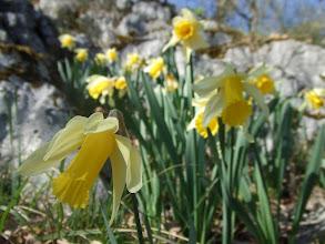 Photo: Narcisses sauvages Roc des abeilles (15 min du gite)