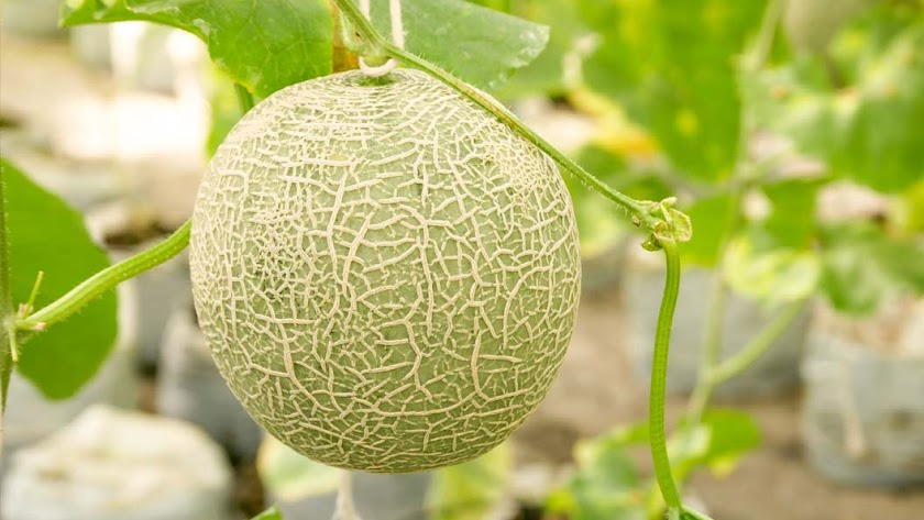 Injerto de melón de Cristalplant.
