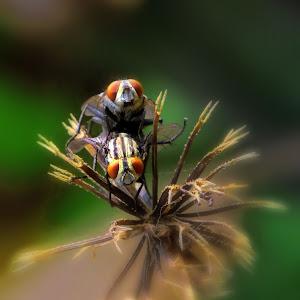 lalat kawin.jpg