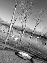 Photo: Black and white photo of dead trees in a lake at Eastwood Park in Dayton, Ohio.